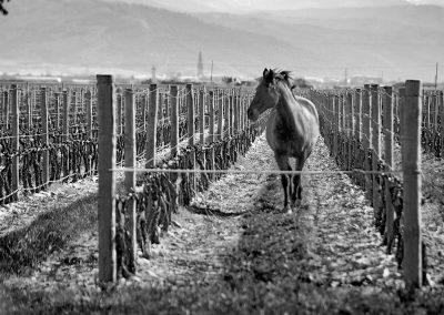 Vinedo-con-caballo-en-Finca-La-Emperatiz